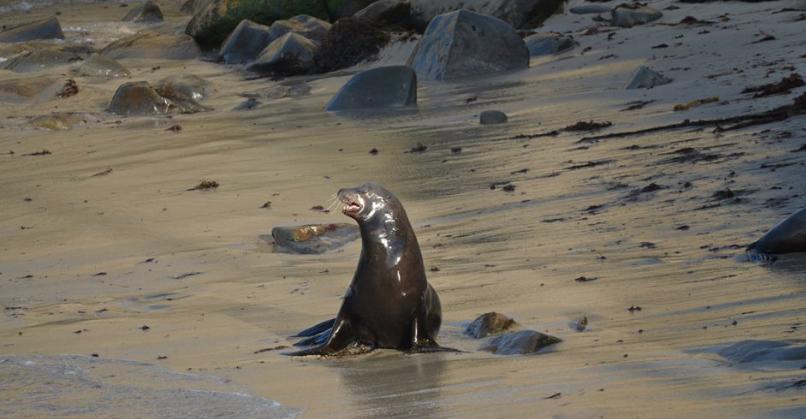 La Jolla Cove Seal